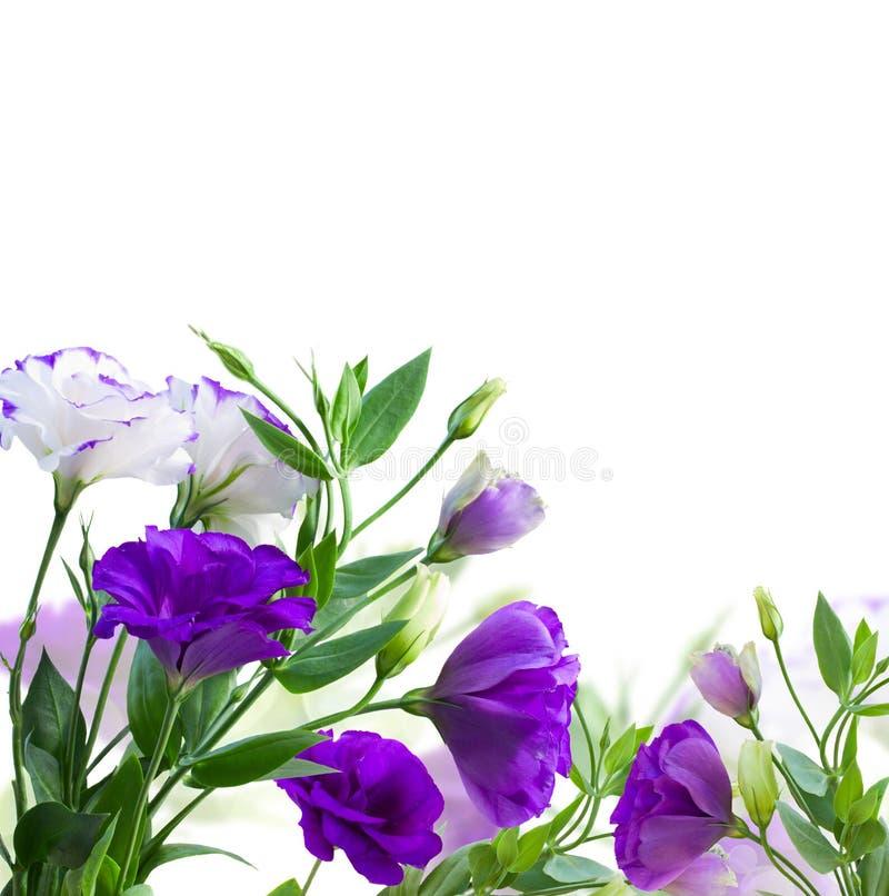 Flores de la violeta del Eustoma fotos de archivo