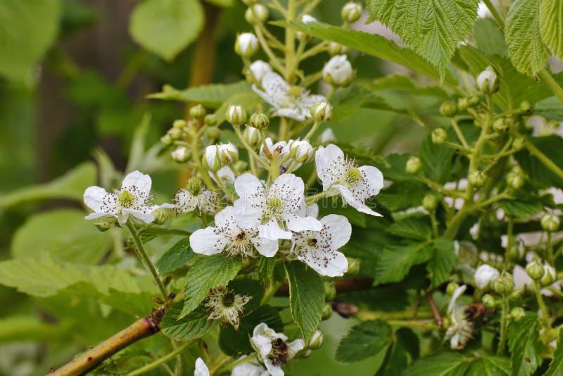 Flores de la zarzamora, fruticosus del Rubus, Baviera, Alemania, Europa imagenes de archivo