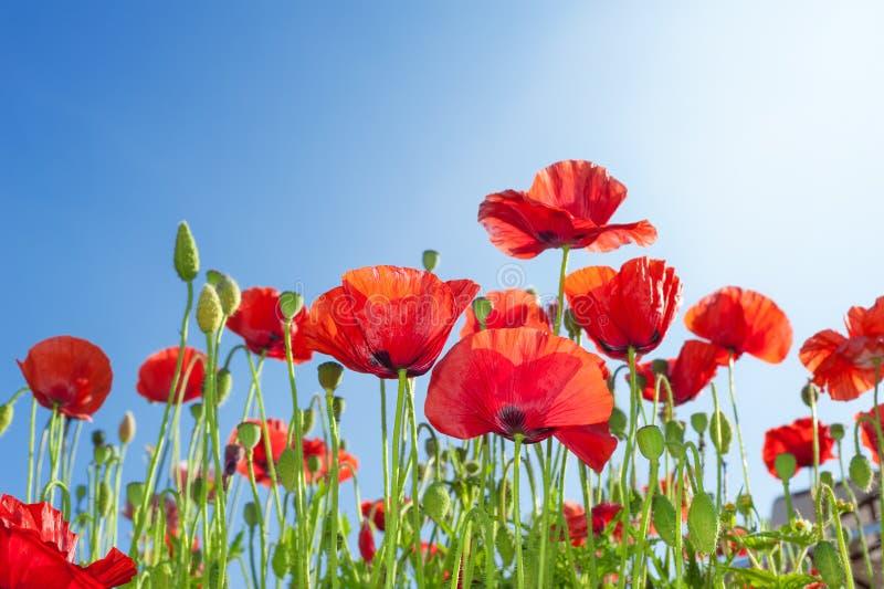 Flores de las amapolas fotos de archivo libres de regalías