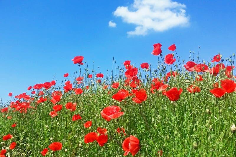 Flores de las amapolas fotos de archivo