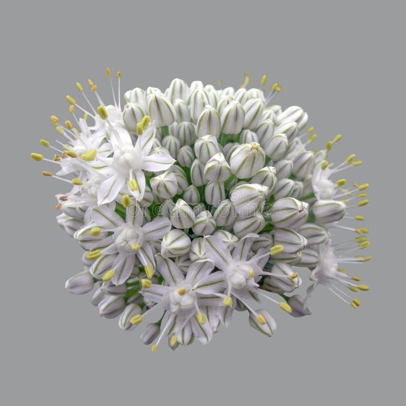 Flores de las cebollas, inflorescencia fotos de archivo