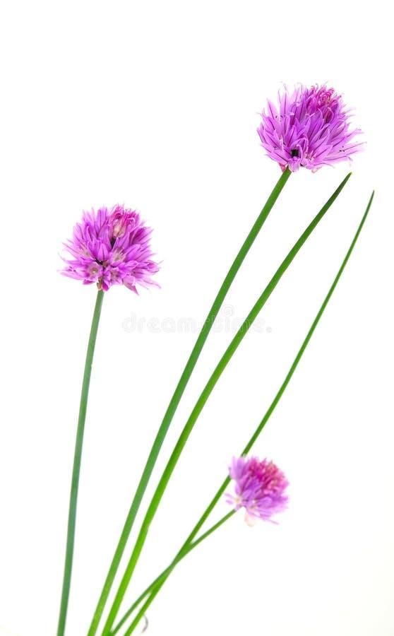 Flores de las cebolletas de las hierbas imágenes de archivo libres de regalías