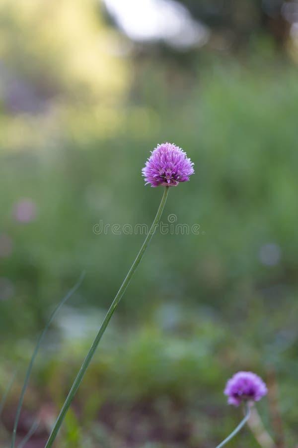 Flores de las cebolletas en naturaleza imágenes de archivo libres de regalías