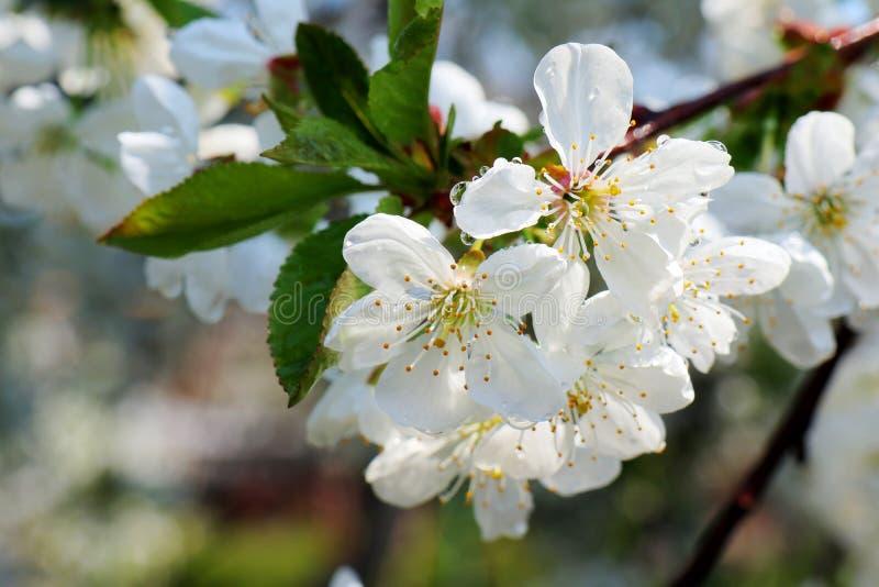 Flores de las flores de cerezo en un fondo del d?a de primavera imagen de archivo libre de regalías