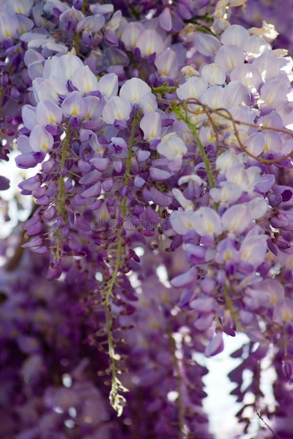 Flores de las glicinias fotografía de archivo libre de regalías