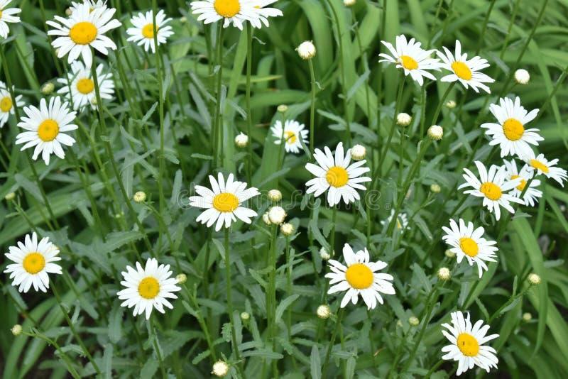 Flores de las manzanillas imagen de archivo libre de regalías