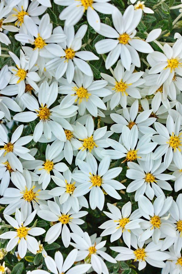 Flores de las margaritas blancas imagen de archivo libre de regalías