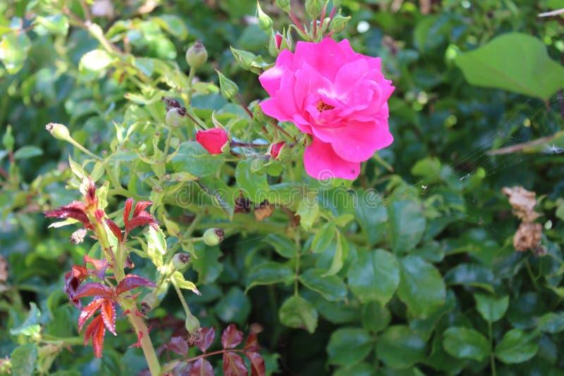 Flores de las rosas imagenes de archivo