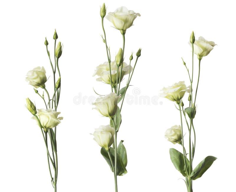 Flores de las rosas blancas fijadas imagenes de archivo