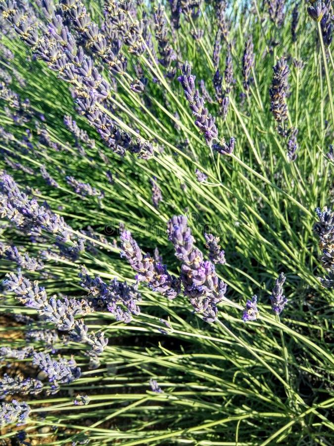 Flores de Lavander fotos de stock