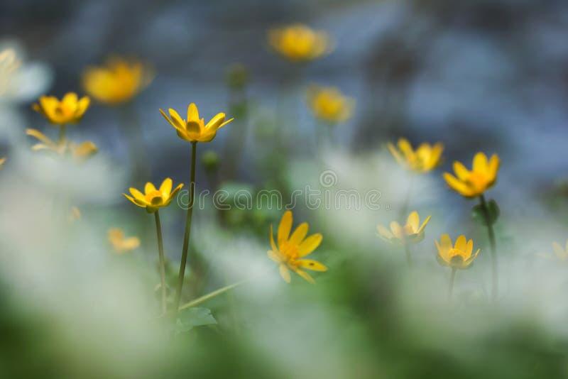 Flores de Lesser Celandine foto de archivo libre de regalías