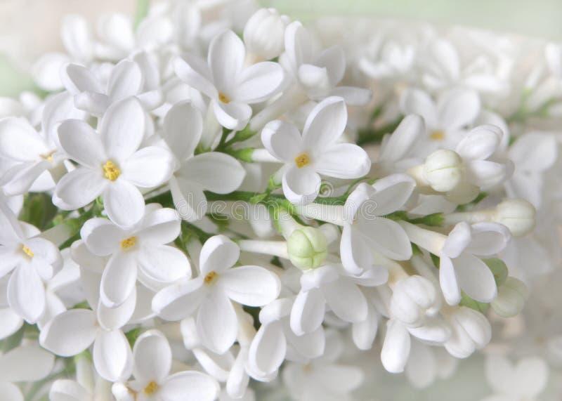 Flores de Liliac fotos de archivo libres de regalías