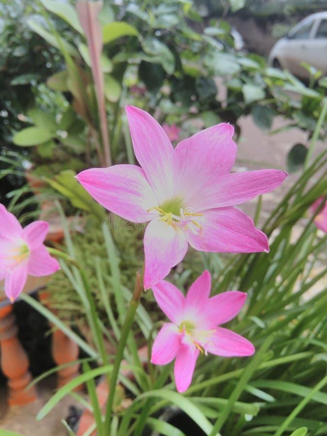 Flores de Lilly imagens de stock royalty free