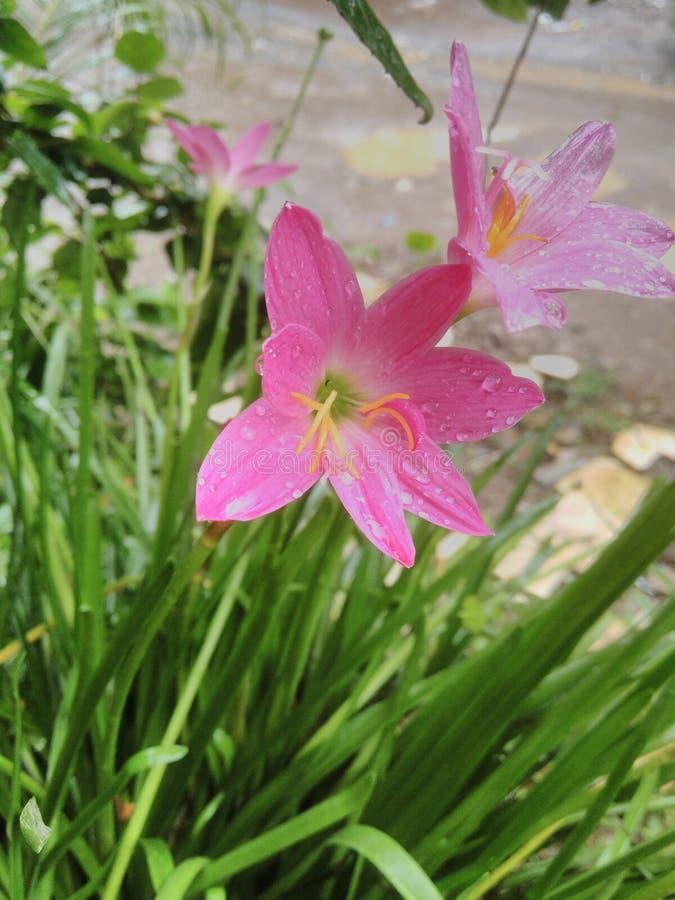 Flores de Lilly imagens de stock