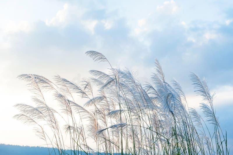 Flores de lingüeta delicadamente selvagens na mola da manhã Flores de Reed que fundem no vento em nuvens bonitas, uma escala de m foto de stock