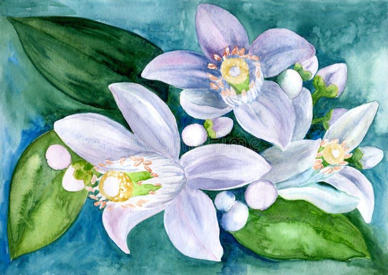 Flores de los árboles de fruta cítrica - limón, naranja, bergamota, cal watercolor ilustración del vector