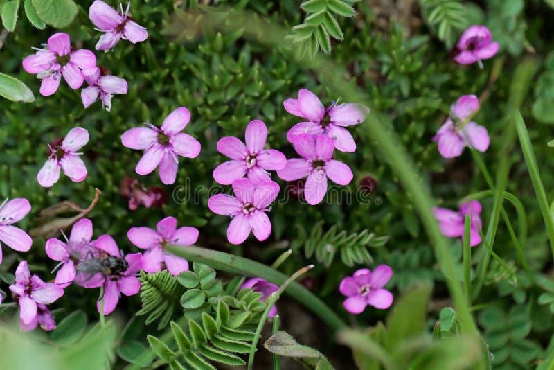 Flores de los acaulis de Silene de la coronaria de musgo fotos de archivo libres de regalías