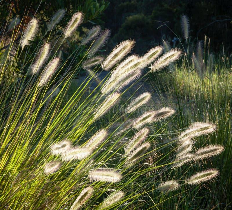 Flores de los alopecuroides australianos del Pennisetum de la hierba que brillan intensamente adentro fotografía de archivo