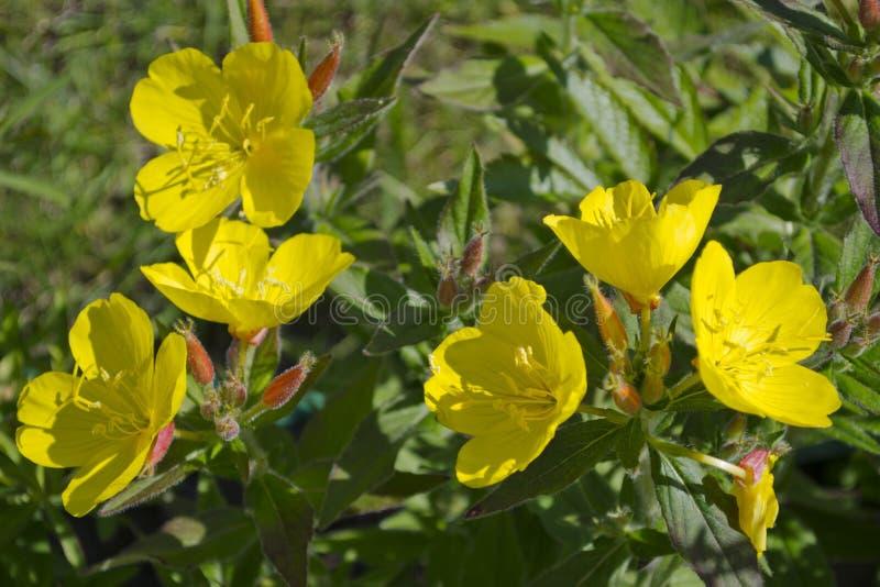 Flores de los biennis del Oenothera de la Tarde-primavera fotografía de archivo