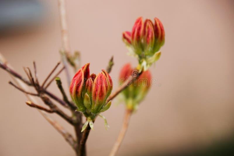 Flores de los brotes del rododendro rojo delante de la casa fotografía de archivo