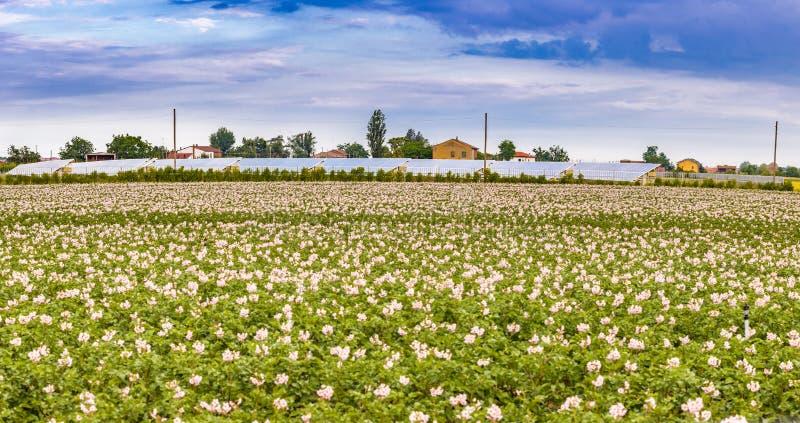 Flores de los campos de la patata imágenes de archivo libres de regalías