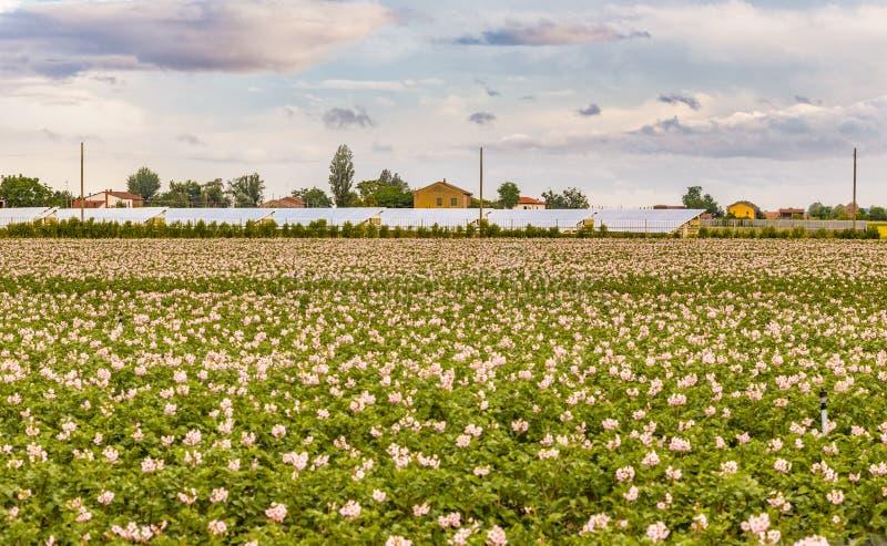 Flores de los campos de la patata imagen de archivo