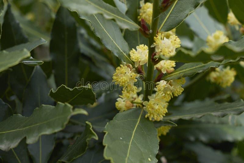 Flores de los nobilis del Laurus fotografía de archivo