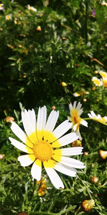 Flores de los perennis del Bellis fotografía de archivo libre de regalías