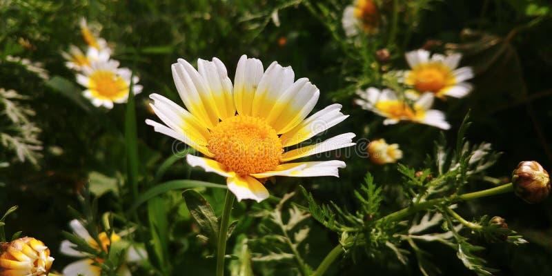 Flores de los perennis del Bellis imagen de archivo