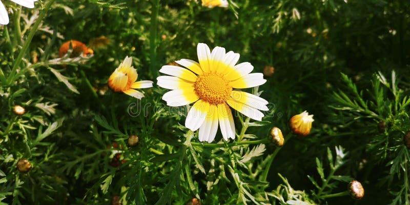 Flores de los perennis del Bellis imagenes de archivo