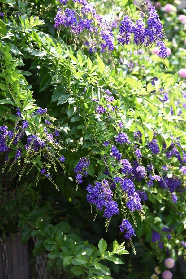 Flores de los repens de Duranta foto de archivo