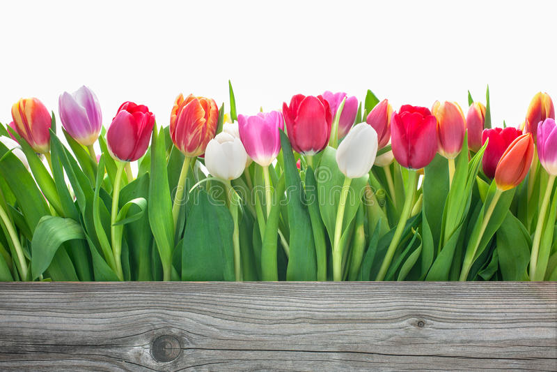 Flores de los tulipanes de la primavera foto de archivo