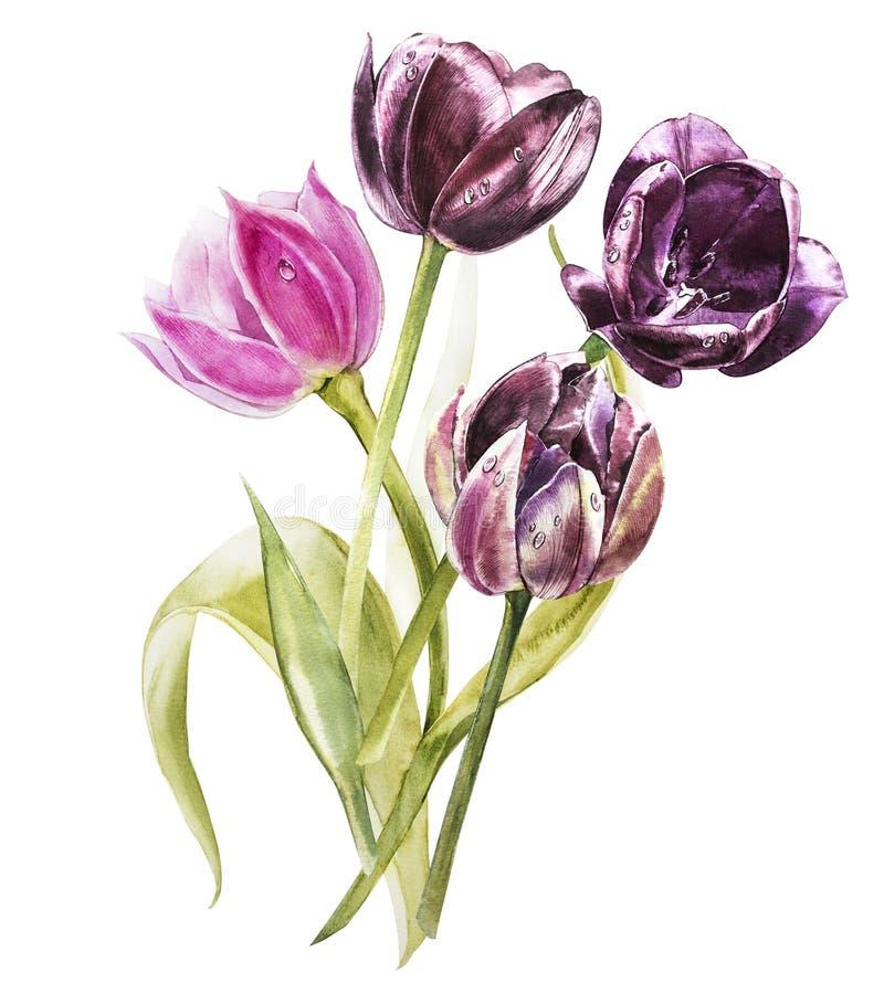 Flores de los tulipanes de la acuarela Ejemplo botánico floral de la decoración de la primavera o del verano Acuarela aislada Per ilustración del vector