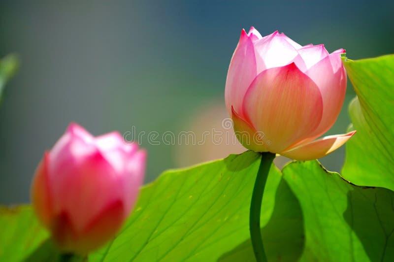 Flores de loto bajo luz del sol fotos de archivo