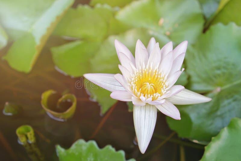 Flores de loto blancas y amarillas hermosas foto de archivo libre de regalías