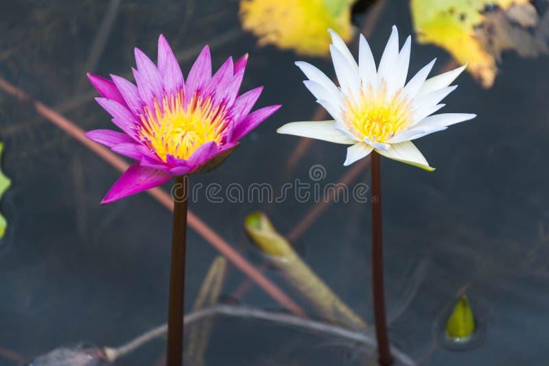 Flores de loto blancas y púrpuras imagen de archivo libre de regalías