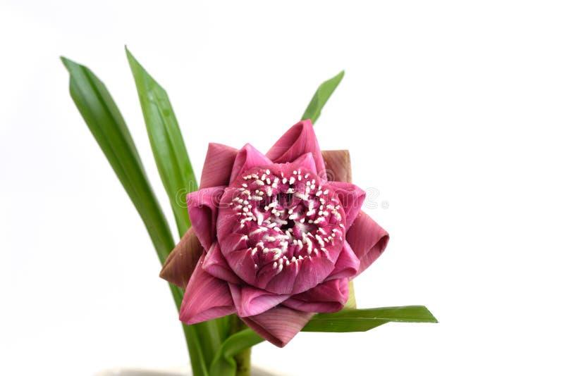 Flores de loto rosadas dobladas aisladas en el fondo blanco imagenes de archivo