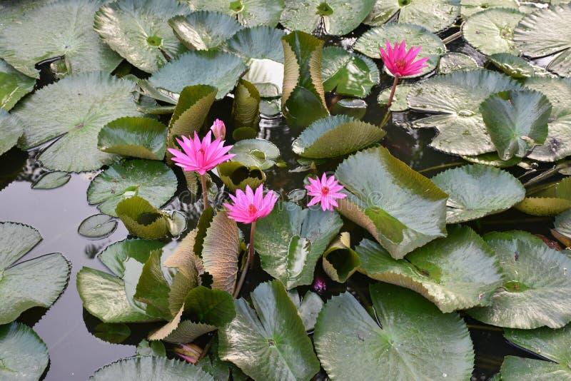 Flores de loto rosadas en la charca del jardín imagenes de archivo