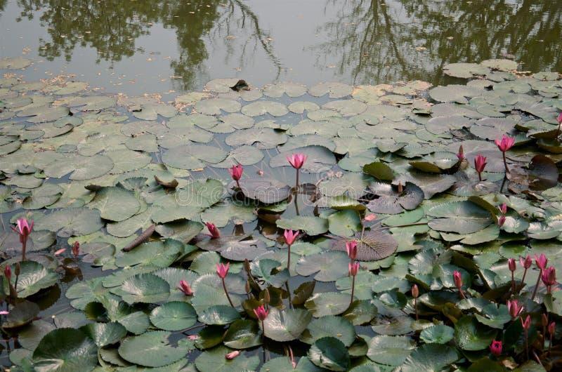 Flores de loto rosadas y hojas verde oscuro en la charca tropical foto de archivo libre de regalías