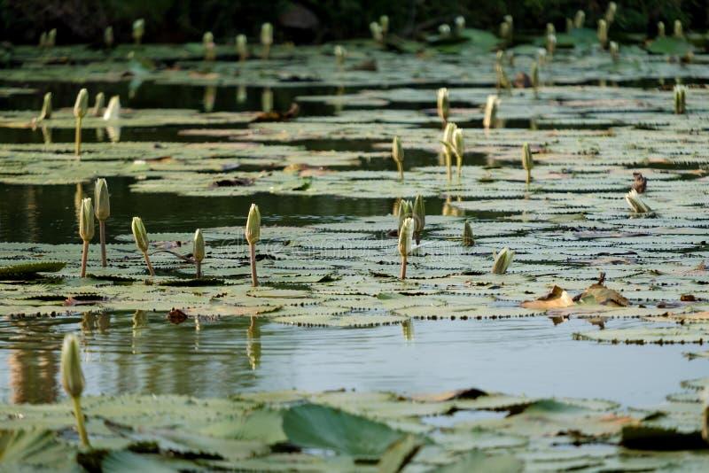 Flores de loto verdes en una charca imagen de archivo libre de regalías