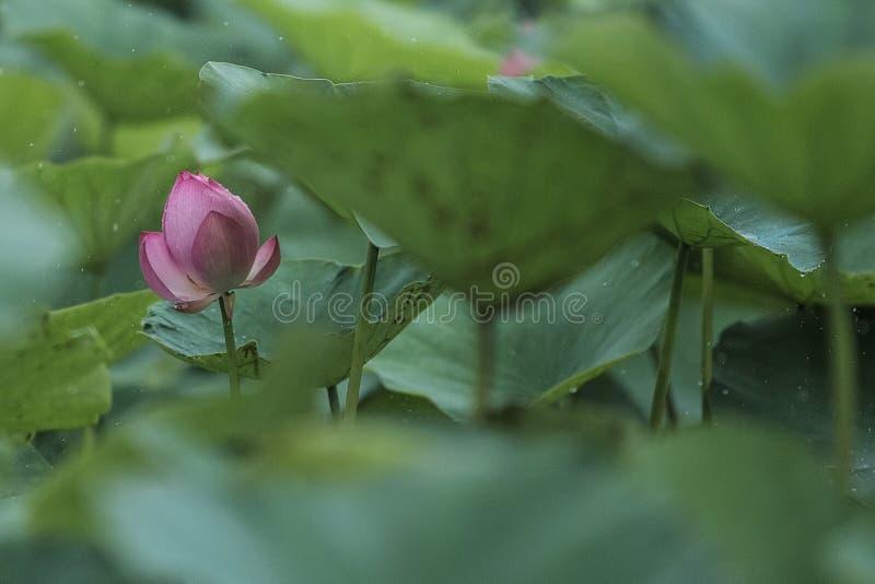 Flores de Lotus en días de verano lluviosos imagen de archivo libre de regalías