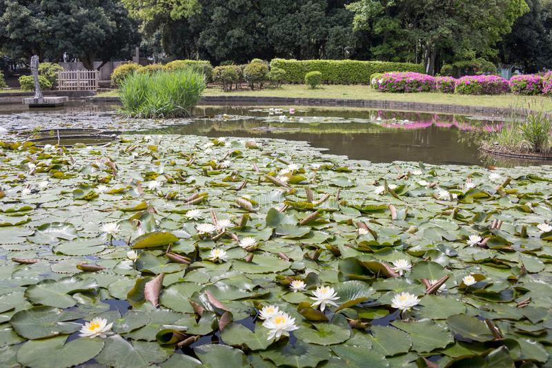 Flores de Lotus en la charca imagen de archivo libre de regalías