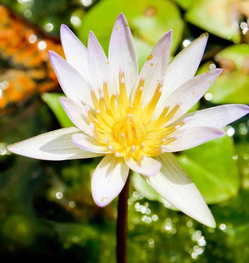 Download As Flores De Lótus No Dissipador Imagem de Stock - Imagem de meditation, fundo: 29829089