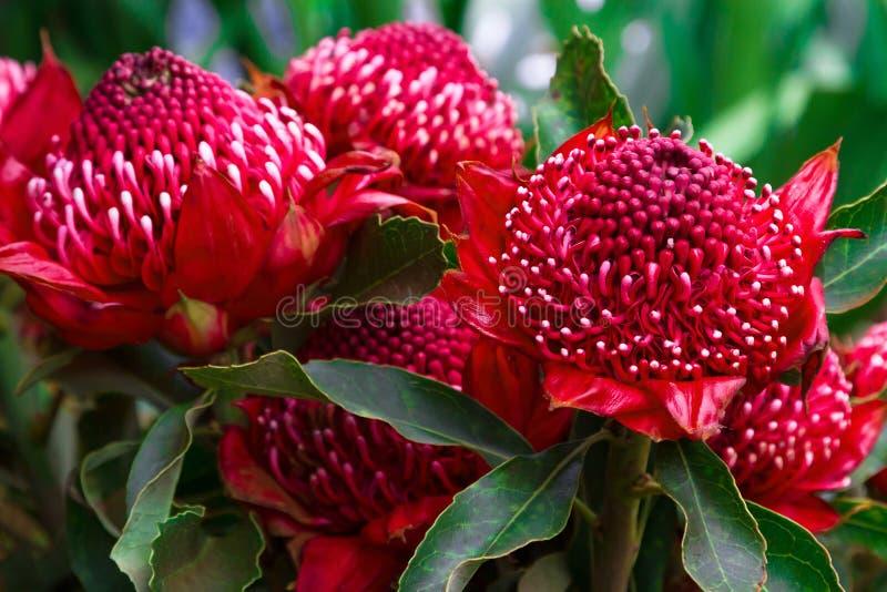 Flores de Madeira, Telopea de Gembrook (Waratah Speciosissima) imágenes de archivo libres de regalías