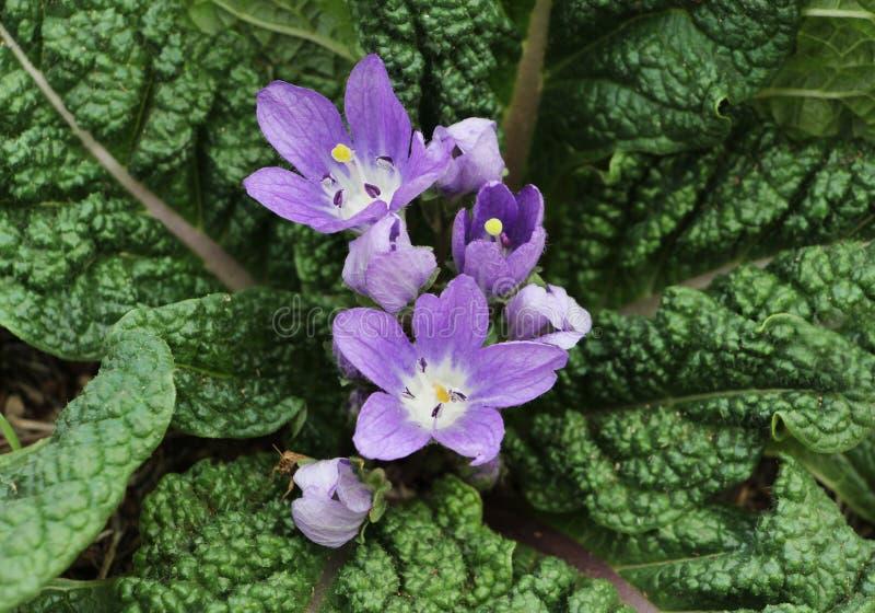 Flores de Mandrake, officinalis do mandragora foto de stock royalty free