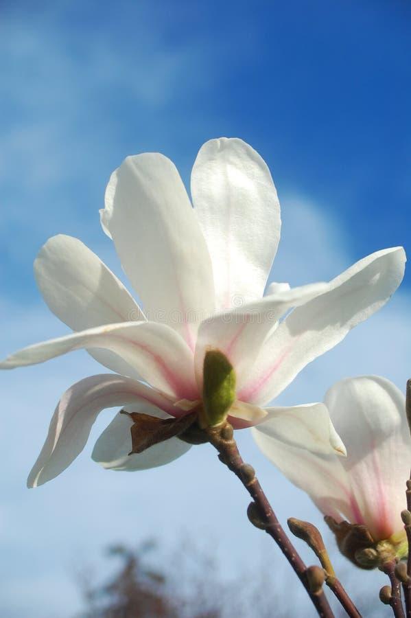 Flores de Mangnolia imágenes de archivo libres de regalías
