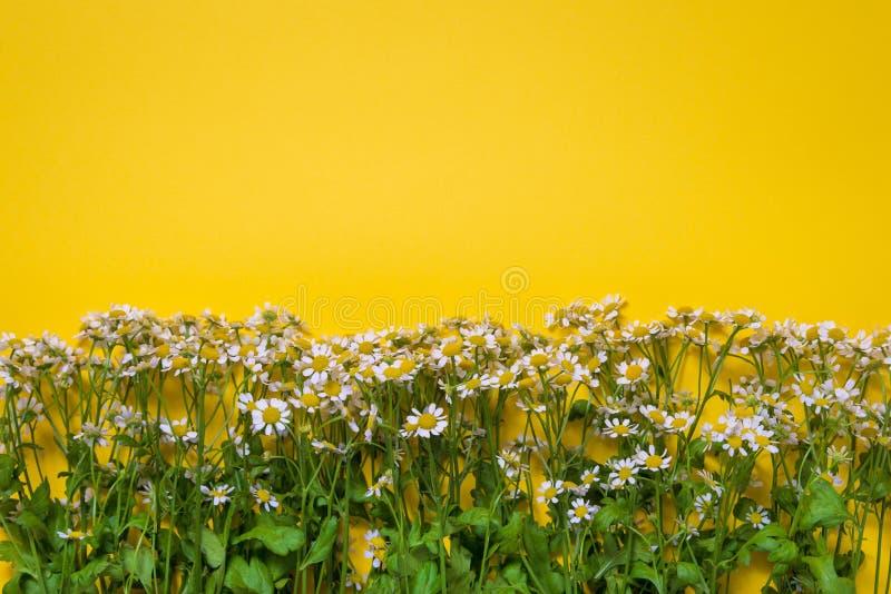 Flores de manzanilla en flor con fondo amarillo fotos de archivo