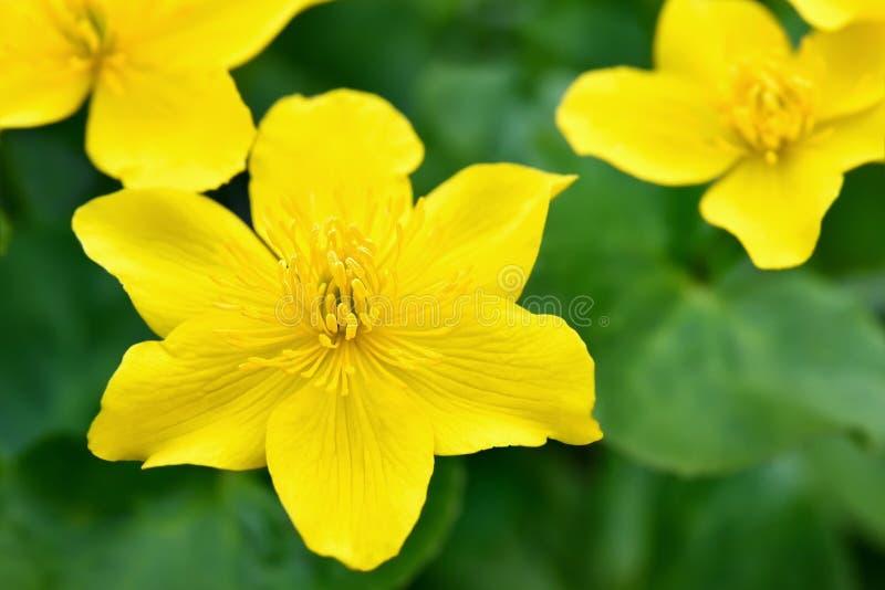 Flores de Marsh Marigold, fim acima da vista fotos de stock