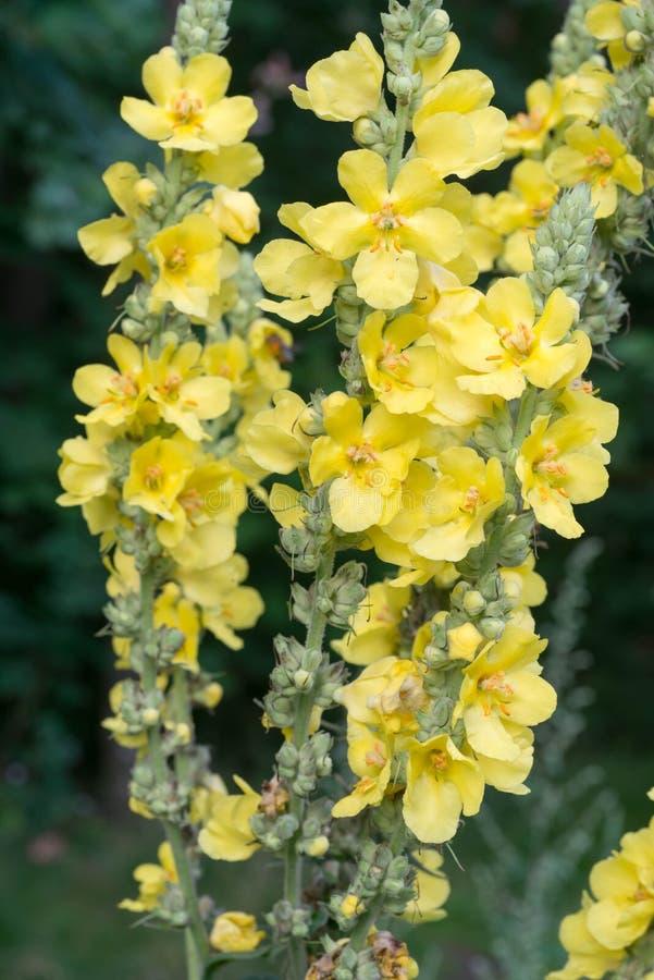 Flores de Mullein en bosque imagen de archivo libre de regalías
