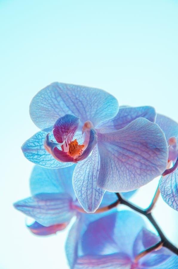 Flores de néon da orquídea azul no fundo claro fotos de stock royalty free